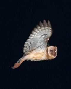 Australasian Grass-Owl