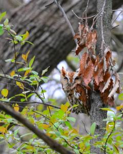 Eastern Screech-Owl (Northern)