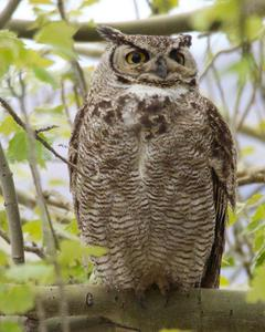 Great Horned Owl (Magellanic)