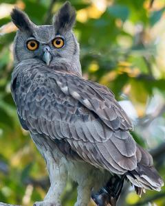 Dusky Eagle-Owl