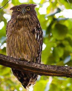 Brown Fish-Owl