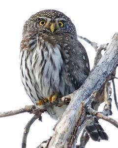 Northern Pygmy-Owl (Rocky Mts.)
