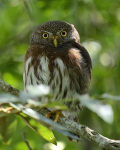 Tamaulipas Pygmy-Owl