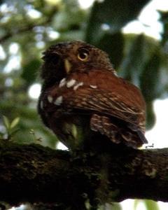 Javan Owlet