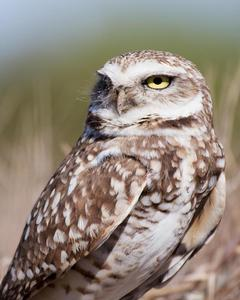 Burrowing Owl (Western)