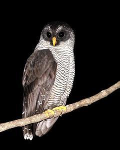 Black-and-white Owl