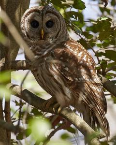 Barred Owl