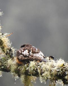Rufous-bellied Nighthawk