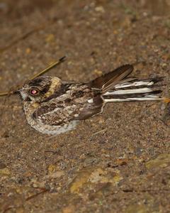 White-tailed Nightjar