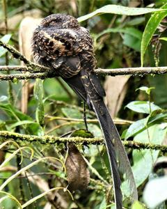 Swallow-tailed Nightjar