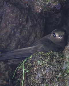 White-chinned Swift