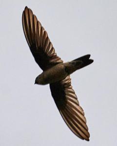 White-nest Swiftlet