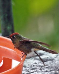 Rufous-capped Thornbill