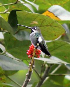 Long-billed Starthroat
