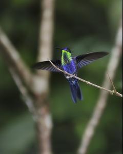 Crowned Woodnymph (Violet-crowned Woodnymph)
