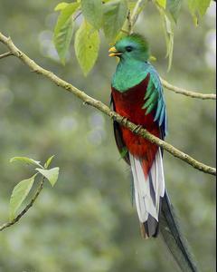 Resplendent Quetzal (Guatemalan)
