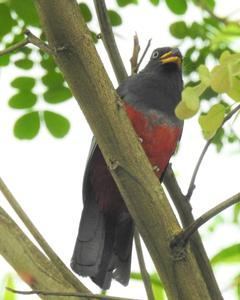 Ecuadorian Trogon