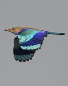 Indian/Indochinese Roller