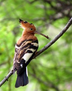 Eurasian Hoopoe (African)
