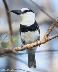 White-necked Puffbird