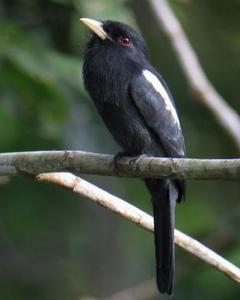 Yellow-billed Nunbird