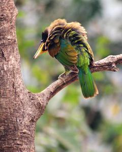 Yellow-billed Barbet