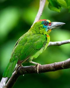 Red-throated Barbet