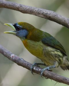 Red-headed Barbet