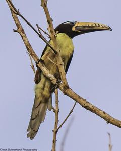 Lettered Aracari