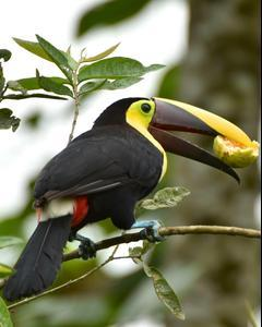 Yellow-throated Toucan (Black-mandibled)