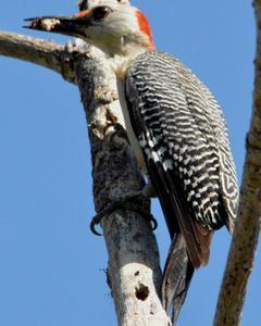 Golden-fronted Woodpecker (Velasquez's)