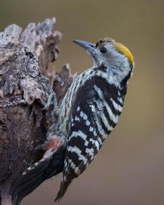 Brown-fronted Woodpecker