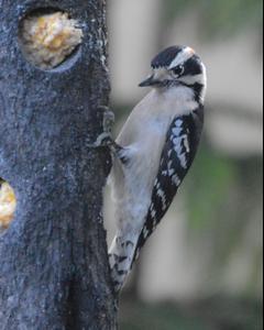 Downy Woodpecker (Eastern)