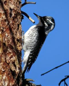 American Three-toed Woodpecker (Rocky Mts.)