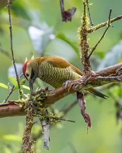 Choco Woodpecker