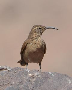 Scale-throated Earthcreeper