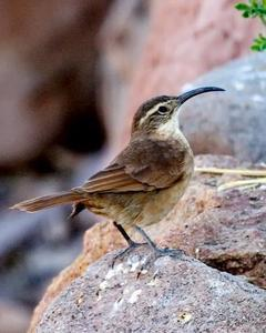 White-throated Earthcreeper