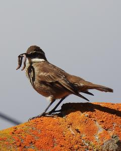 Chestnut-winged Cinclodes