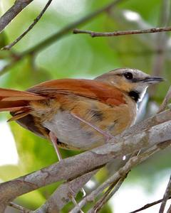 Ochre-cheeked Spinetail