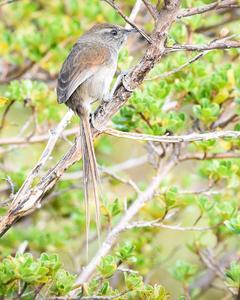 Perija Thistletail