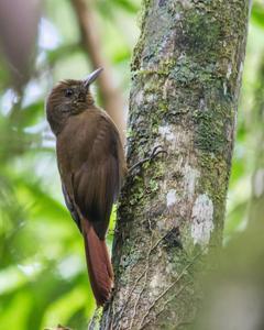 Plain-winged Woodcreeper (Plain-winged)