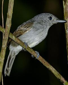 Mouse-colored Antshrike