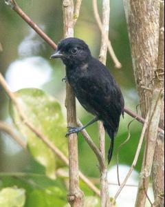 Black Antshrike