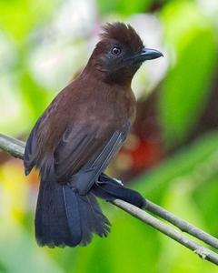 White-shouldered Antshrike