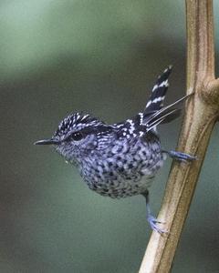 Scaled Antbird