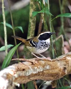 White-bibbed Antbird