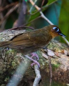 Rufous-throated Antbird