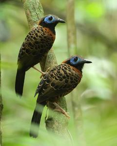 Ocellated Antbird