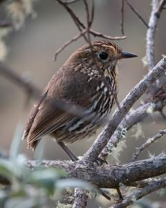 Stripe-headed Antpitta
