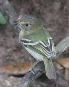 Buff-cheeked Tody-Flycatcher